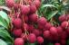 بہارسب سے زیادہ لیچی پیداکرنے والی ریاست ، 32 ہزار رقبے میں تقریباً 300 ہزارمیٹرک ٹن لیچی کی پیداوار