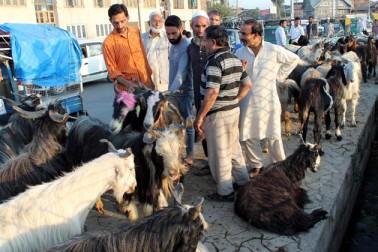 عیدگاہ اور پارمپورہ میں لگنے والی مویشی منڈیوں میں بھیڑ اور بکریوں کے علاوہ صحرائی جہاز کہلائے جانے والے اونٹوں کو بھی فروخت کے لئے رکھا گیا ہے۔  فی اونٹ ایک سے ڈیڑھ لاکھ روپے کے درمیان فروخت کیا جارہا ہے۔
