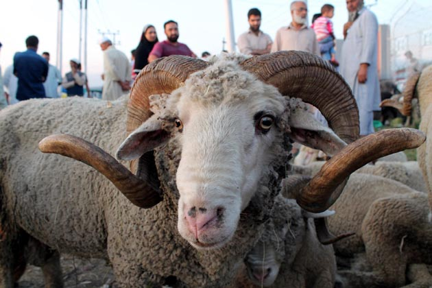 وادی کے مختلف اضلاع سے موصولہ اطلاعات کے مطابق ضلع و تحصیل سطحوں پر لگنے والی مویشی منڈیوں میں بھی لوگوں کی بڑی تعداد قربانی کے جانوروں کی خریداری میں مصروف نظر آرہے ہیں۔