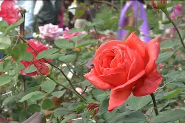 آپ جنتے رنگ تصورکر سکتے ہیں ، گلاب نمائش میں ہر رنگ کے گلاب دستیاب ہیں۔