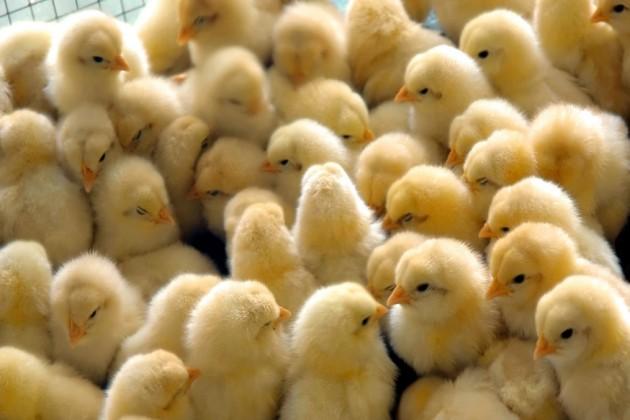 اسمبلی میں یہ اعلان کرتے پوئے انہوں نے کہا کہ دیسی مرغیوں کے انڈوں اور مانس کی مانگ مسلسل بڑھ رہی ہے ۔ اس کےنتیجے کے طور پر اپنے گھر کے پیچھے اس طرح کی مرغیوں کا پالن ریاست میں مقبول ہو رہا ہے ۔