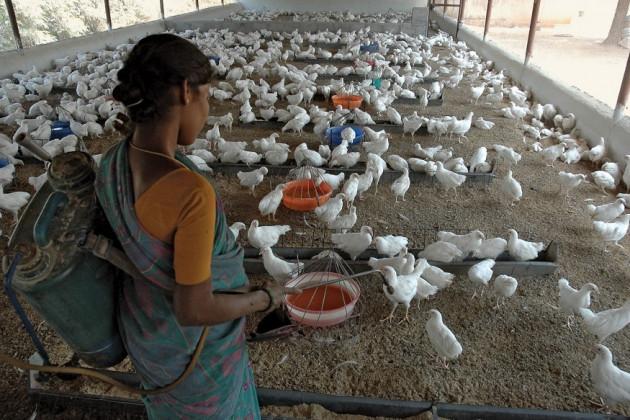 تملناڈو کے وزیراعلیٰ کے پلسوامی نے کہا کہ چینئی کے باہری علاقوں میں رہ رہی 38,500 خواتین کو انڈے اور مانس کے کاروبار کے لئے 50 50 دیسی مرغیاں مفت میں دیگی۔
