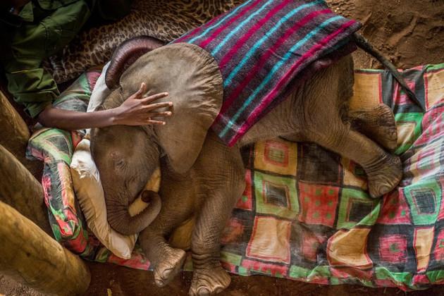 مالحولیات زمرے میں پہلا انعام نیشنل جیوگرافک کے ایمی وٹیالے کی اس تصویر کو دی گئی۔ یہ تصویرشمالی کینا کے ریٹیٹی ہاتھی گھر میں لی گئی ہے۔جہاں اس ہاتھی کے بجے کو بچاکر لایا گیا۔