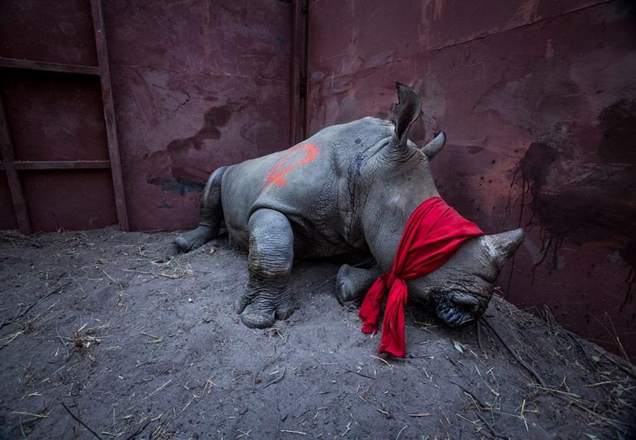 ماحولیات سنگلس کیٹگری میں پہلا انعام نیل ایلڈریج کی اس تصویر کو دیا گیا ہے۔ گینڈے کو شکاریوں کے چنگل سے بچے کر لے جانے کی کہانی کو یہ تصویر بیان کرتی ہے ۔