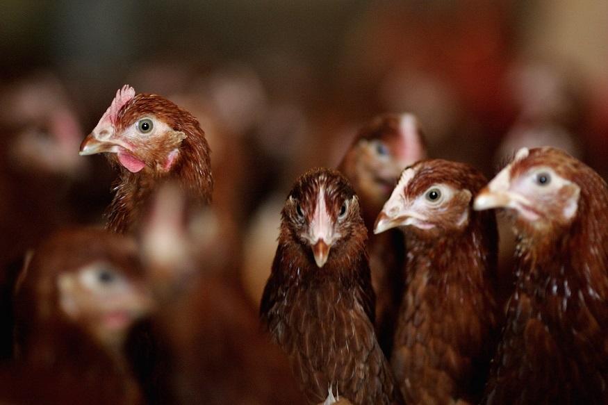 انہوں نے کہا کہ خواتین کیحوصلہ افزائی کے لئے انہیں مفت میں مرغیاں دینے کا فیصلہ لیا گیا ہے ۔ انہوں نے کہا کہ اس منصوبہ پر 25 کروڑ روپیے خرچ ہوں گے۔ حکومت پہلے ہی گائیوں ، بکریوں اور بھیڑوں کو مفت میں دینے کا منصوبہ اپنا چکی ہے ۔