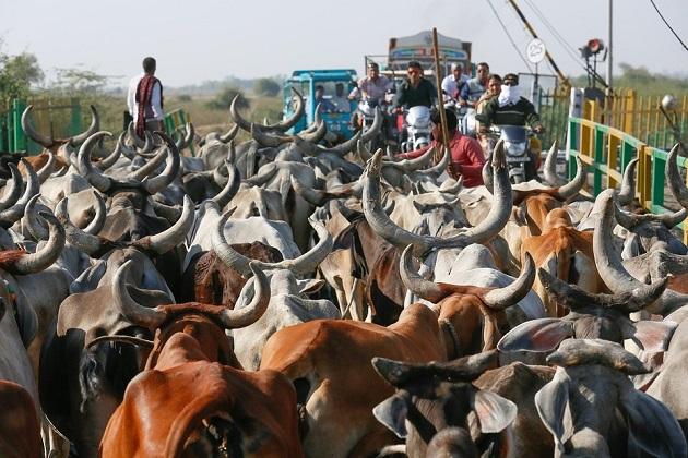 ہندوستان میں گائے کے نام پر قتل ہو رہے ہیں لیکن پڑوسی ملک پاکستان اس معاملہ میںبالکل الگ ہے۔