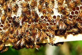 چھتیس گڑھ : شہد کی مکھیوں کا نصف درجن بی جے پی وزیر اور کارکنوں پر حملہ